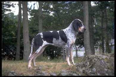 Арьежский брак, арьежский бракк фото, фотография, породы собак