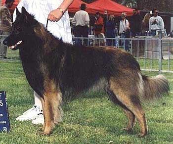 Тервюрен, бельгийская овчарка, фото, фотография