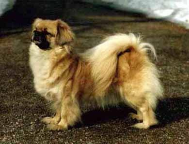 Тибетский спаниель, фото, фотография, породы собак