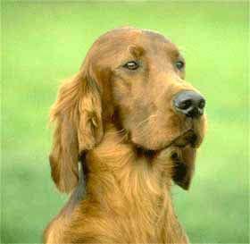 Ирландский сеттер, собака чаппи, фото, фотография