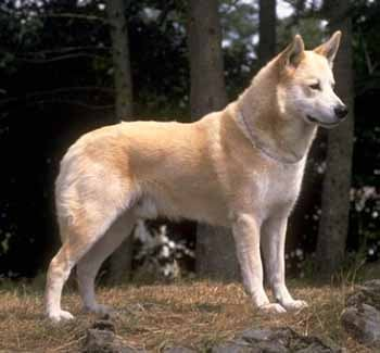 Ханаанская собака собака ханаанская