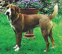 Австрийский короткошерстный пинчер, фото, фотография