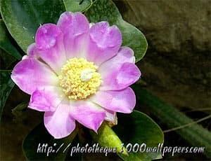 кактус Pereskia sacharosa. Фото, фотография с http://phototheque.1000wallpapers.com/