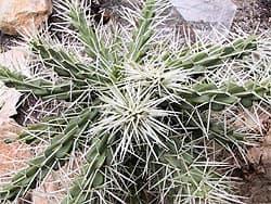 кактус . Фото, Цилиндропунция оболочковая (тупиковая) (Cylindropuntia tunicata) фотография с http://cactus-succulents.com/