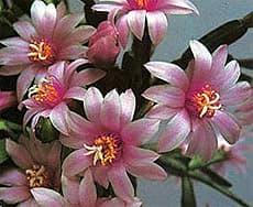 кактус Рипсалидопсис розовый (Rhipsalidopsis rosea), фото, фотография с http://nyborg-blomster.dk/
