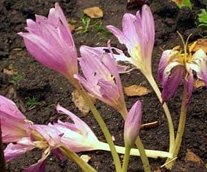 Безвременник безвременник colchicum autumnale колхикум  Безвременник colchicum autumnale фото фотография цветы растения