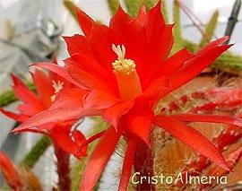 кактус Апорокактус Концатти (Aporocactus conzattii), фото, фотография с http://cristoalmeria.com/