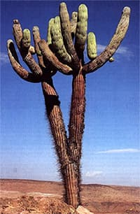 кактус браунингия свечевидная (Browningia candelaris), фото, фотография с http://columnar-cacti.org/