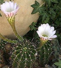 Кактус эхинопсис острореберный echinopsis