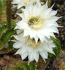 кактус Эхинопсис Эрье (Echinopsis eyriesii), фото, фотография с http://upload.wikimedia.org/
