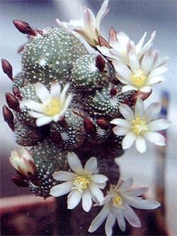 кактус блоссфельдия крошечная (Blossfeldia liliputana), фото, фотография с http://lapshin.org/