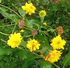 рудбекия рассеченная, золотые шары (Rudbeckia laciniata), фото фотография, растения цветы