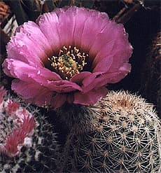 кактус Эхиноцереус дернистый (Echinocereus caespitosus), фото, фотография с http://geocities.com/RainForest/2120/