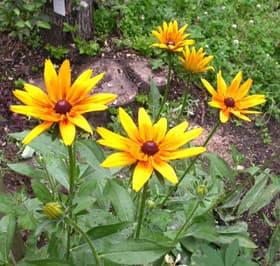 рудбекия (Rudbeckia), фото фотография, растения цветы
