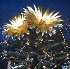 кактус лейхтенбергия превосходная (Leuchtenbergia principis), фото, фотография с http://plantanswers.tamu.edu/