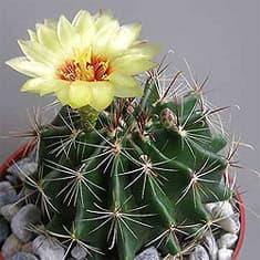 кактус Гаматокактус щетинкоколючковый (Hamatocactus setispinus), фото, фотография с http://cactuslove.ru/
