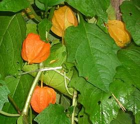 физалис (Physalis alkekengi), китайские фонарики, песья вишня, фото, фотография, растения цветы