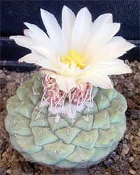 кактус Стромбокактус дисковидный (Strombocactus disciformis), фото, фотография с http://banana-tree.com/