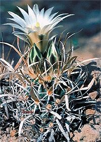 кактус тумия бумагоколючковая (Toumeya papyracantha), фото, фотография с http://upload.wikimedia.org/