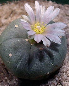 кактус лофофора Уильямса (Lophophora williamsii), фото, фотография с http://shamanica.com/