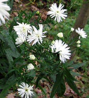 астра многолетняя (Aster perennis), фото фотография, цветы растения