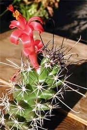 кактус Кохемия Позельгера (Cochemiea poselgeri), фото, фотография с http://desert-tropicals.com/