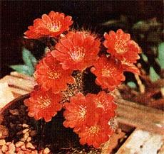 Кактус Айлостера Куппера (Aylostera kupperiana), фото растения фотография