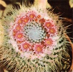 кактус Мамиллярия Вудса (Mammillaria woodsii), фото, фотография