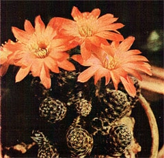 кактус Медиолобивия карликовая (Mediolobivia pygmaea), фото, фотография