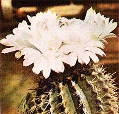 кактус Гимнокалициум михановичи (Gymnocalycium mihanovichii), фото, фотография