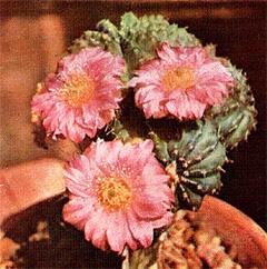 кактус Эхиноцереус пульхеллус (Echinocereus pulchellus), фото, фотография