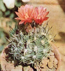 кактус Неочиления Жюсье (Neochilenia jussieui), фото, фотография