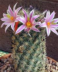 кактус Маммиллярия Блоссфельда (Mammillaria blossfeldiana), фото, фотография с http://www.tucsoncactus.org/