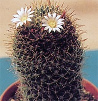 кактус Маммилярия Вильда (Mammillaria wildii), фото, фотография с