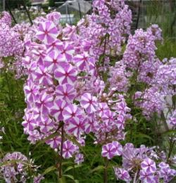 флокс летний, флокс друммонди (Phlox maculata), фото, фотография с http://www.pumila.ch/