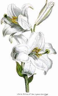 лилия (Lilium candidum), фото, фотография с http://www.desert-tropicals.com/