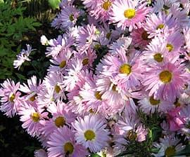 розовая хризантема (Chrysanthemum), фото фотография, цветы растения