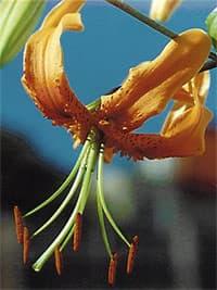 лилия Генри (Lilium henry), фото, фотография с http://www.floralimages.co.uk/