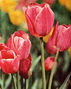 тюльпаны, фото, фотография