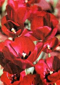 тюльпан гибридный, фото, фотография