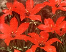 тюльпан ранний красный, фото, фотография
