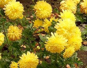 желтая хризантема (Chrysanthemum), фото фотография, цветы растения