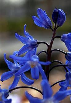хионодокса сардинская (Chionodoxa sardensis), фото, фотография с http://lh5.ggpht.com/