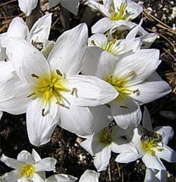 безвременник Совича (Colchicum szovitsii), фото, фотография с http://www.odysseybulbs.com/