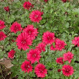 красная хризантема (Chrysanthemum), фото фотография, цветы растения