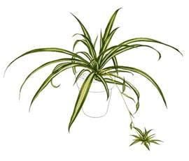 хлорофитум (Chlorophytum), фото, фотография с http://aggie-horticulture.tamu.edu/
