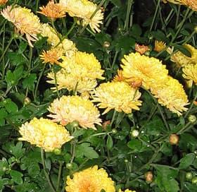 бронзовая хризантема, дубки (Chrysanthemum), фото фотография, цветы растения