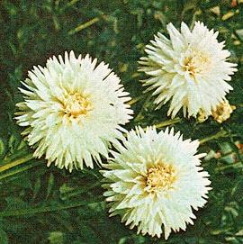 Закаливание цветочных культур посадка цветов в открытый грунт  Закаливание растений и посадка в открытый грунт