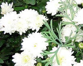 белая хризантема (Chrysanthemum), фото фотография, цветы растения