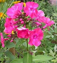флокс розовый (Phlox), фото фотография, цветы растения